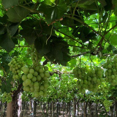 Green vineyard (1)